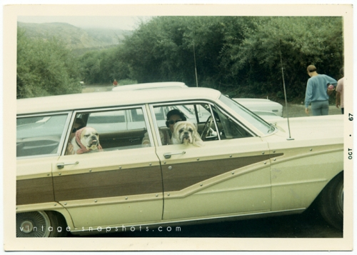 vintage photo of two bulldogs looking out from the windows of their owner's 1960s station wagon.