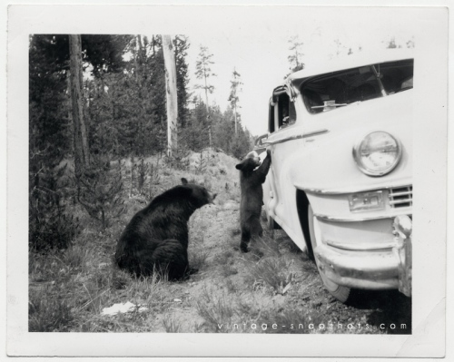 Vintage photograph of black bears begging for  food from automobile