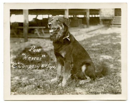 Vintage circa WWI photo of a dog named Pete who was the mascot for the US Army C Company, 8th Infantry